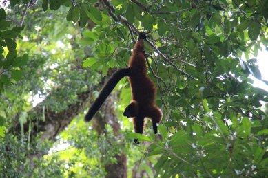 the elusive red ruffed lemur