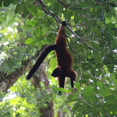 the elusive red ruffed lemur